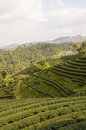 Tea farm plantation at north of thailand Royalty Free Stock Images