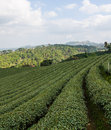 Tea farm plantation at north of thailand Stock Photos