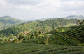 Tea farm plantation at north of thailand Royalty Free Stock Photos