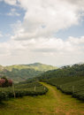 Tea farm plantation at north of thailand Stock Photography