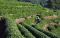 Tea farmer in longjing a man coming from picking Royalty Free Stock Image