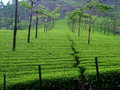 Tea field in munnar kerala india soth Royalty Free Stock Image