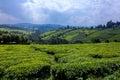 Tea fields beautiful in kenya Royalty Free Stock Images