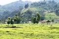 Tea fields beautiful in rwanda Royalty Free Stock Photo