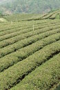 Tea fields fresh green at chiangrai thailand Royalty Free Stock Image