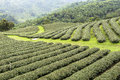 Tea Fields in Mae Salong Chiang Rai, Thailand Royalty Free Stock Photo