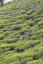 Tea-Garden Royalty Free Stock Photos