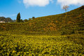 Tea garden in the highlands in darjeeling india Royalty Free Stock Photo