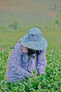 Tea garden in northern thailand chiang rai april unidentified worker is picking leaves a on april chiang rai Stock Image