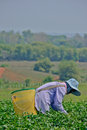 Tea garden in northern thailand chiang rai april unidentified worker is picking leaves a on april chiang rai Stock Images