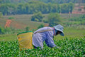 Tea garden in northern thailand chiang rai april unidentified worker is picking leaves a on april chiang rai Royalty Free Stock Image