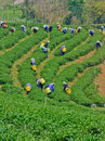Tea garden in northern thailand chiang rai april unidentified workers are picking leaves a on april chiang rai Royalty Free Stock Photo