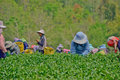 Tea garden in northern thailand chiang rai april unidentified workers are picking leaves a on april chiang rai Stock Photography