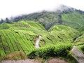 Tea mountain of garden Royalty Free Stock Photo