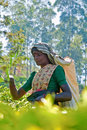 Tea picker portrait unidentified female in plantation in nuwara eliya sri lanka Stock Photo