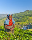 Tea picker smirks as she picks leaves Royalty Free Stock Photography