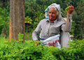 Tea Picker At Work Royalty Free Stock Photo