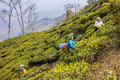 Tea pickers of darjeeling Royalty Free Stock Photo