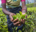 Tea pickers in Nuwara Eliya, Sri Lanka Royalty Free Stock Photo
