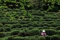 Tea picking, Hangzhou, China Royalty Free Stock Photo