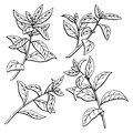 Tea plant graphic black white sketch isolated illustration