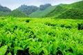 Tea plantation Royalty Free Stock Photos