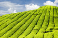 Tea plantation Stock Photo