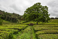 Tea plantation on azores a sao miguel Stock Images