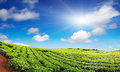 Tea plantation with blue sky Stock Image