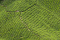 Tea plantation cameron highland beautiful nature in malaysia Royalty Free Stock Photo