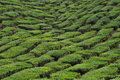 Tea plantation in the cameron highlands Stock Images