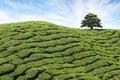 Tea plantation Cameron highlands, Malaysia Royalty Free Stock Photo