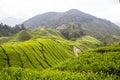 Čaj plantáž na vysočina