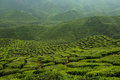 Tea Plantation at Cameron Highlands, Malaysia Royalty Free Stock Photo