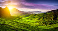 Tea plantation in cameron highlands malaysia nature background Stock Images