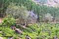Tea Plantation in the Cardamam mountains. Munnar, Royalty Free Stock Image