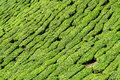Tea plantation close up picture of taken at cameron highlands pahang malaysia Stock Photos
