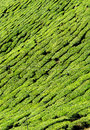 Tea plantation closeup close up picture of taken at cameron highlands pahang malaysia Royalty Free Stock Image