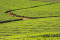 Tea plantation with cropping rows Royalty Free Stock Images