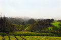 Tea plantation cultivation on azores island sao miguel Royalty Free Stock Images