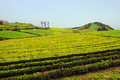 Tea plantation cultivation on azores island sao miguel Royalty Free Stock Photos
