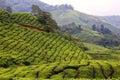 Čaj plantáž v vysočina