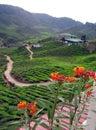 Tea plantation on highlands Stock Images