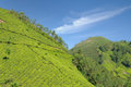 Tea plantation india kerala in the cardamam mountains Royalty Free Stock Photography