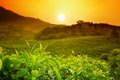 Tea plantation landscape at sunrise Stock Images