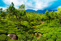 Tea plantation landscape under blue cloudy sky munnar kerala india Stock Photo