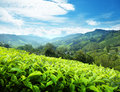 Tea plantation, Malaysia Royalty Free Stock Photo
