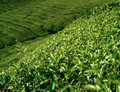 Tea plantation in Malaysia Royalty Free Stock Photo