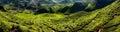 Tea plantation in the morning cameron highlands malaysia Royalty Free Stock Photo