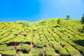 Tea Plantation. Munnar, India Royalty Free Stock Photography